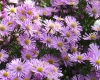 Aster \'Pink Star\'