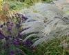 Miscanthus \'Undine\' met Aster \'Violetta\' (foto Truus Klok)