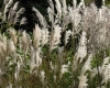 Miscanthus moederveldjes (foto: Truus Klok)